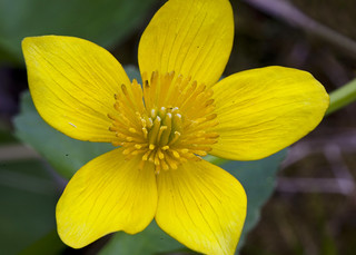 Marsh-Marigold | by Dah Professor