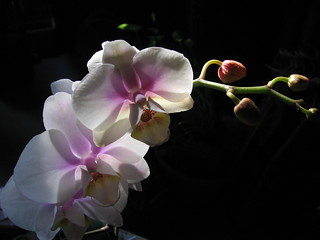 Orchid | by Inatil