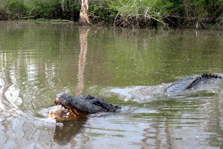 Louisiana - Slidell: Dr. Wagner's Honey Island Swamp Tours - El Guapo | by wallyg