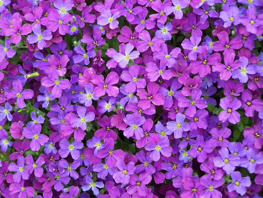 little purple flowers  flower, Beautiful flower