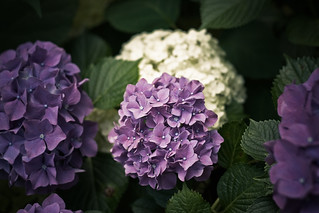 Purple Hydrangeas | by Mason Sklut
