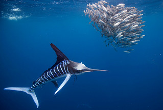 stripedmarlin-11 | by BigAnimals.com