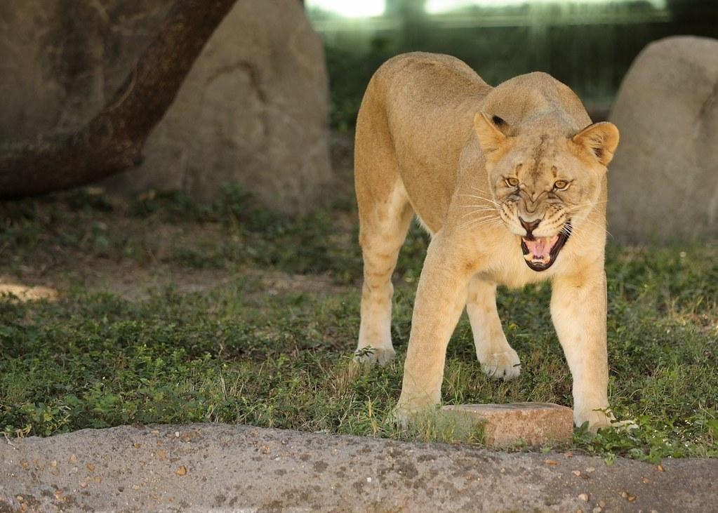 Lioness Roar | SBoyd | Flickr Lioness And Lion