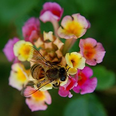Winter in Miami...shiny-winged Honey Bee feeding on pastel Lantana | by jungle mama
