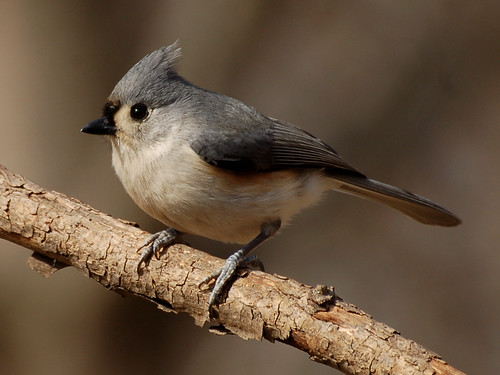 Tufted Titmouse | by Nature's Great