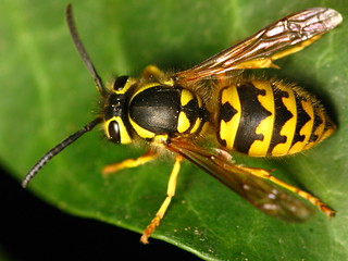 Western yellowjacket wasp. Top view, pattern detail... | by Dialed-in!
