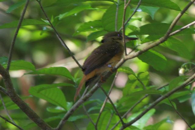 Northern Royal Flycatcher-Onychorhynchus mexicanus ...