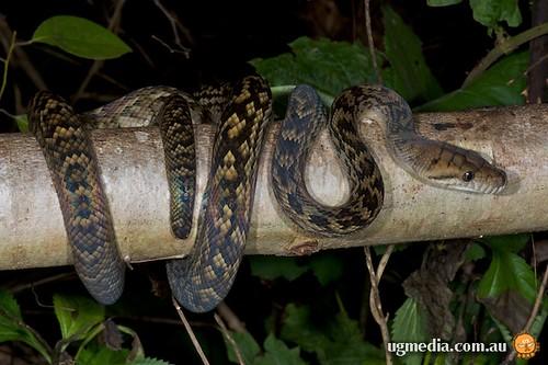 Scrub Python Morelia Kinghorni Scrub Python Morelia