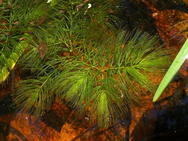 Ceratophyllum demersum P4140686