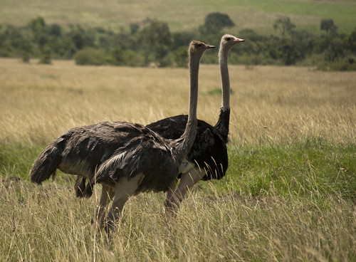 Ostrich Couple | by Brad Ruggles