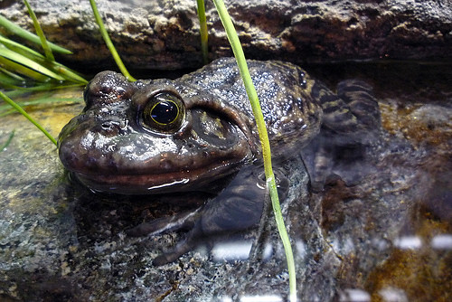 bullfrog John-Morgan | by Contra Costa Times