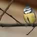 Blue Tit (Cyanistes caeruleus )