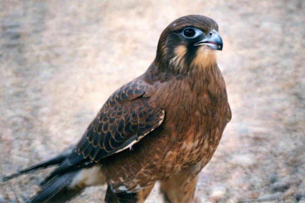 Jobs In Australia >> Falco berigora (Brown Falcon) - captive | Brown Falcon (Falc… | Flickr