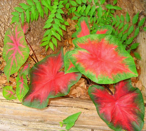 'Freida Hemple' caladium at base of Chinese Pistache, backyard shade garden | by pawightm (Patricia)
