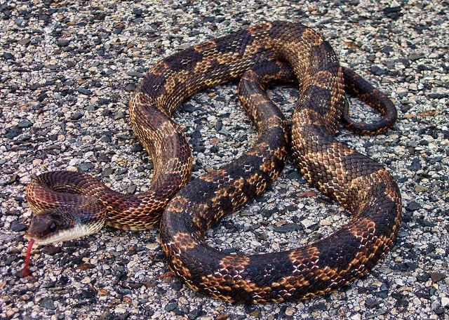 rat snake texas images - photo #11