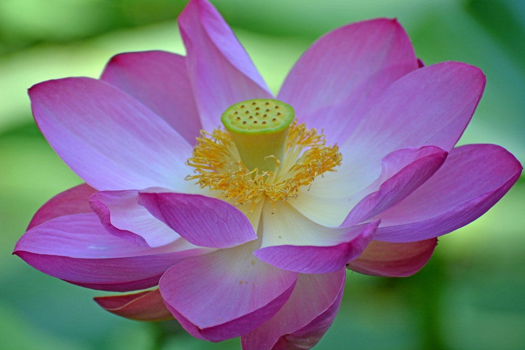 lotus flower yesterday botanical garden szeged outdoo flickr