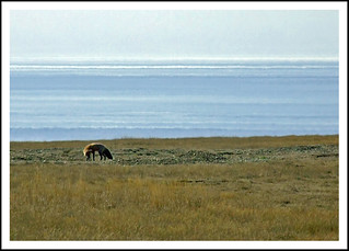 Fox hunting (With Camera) on San Juan Island | by sjb4photos