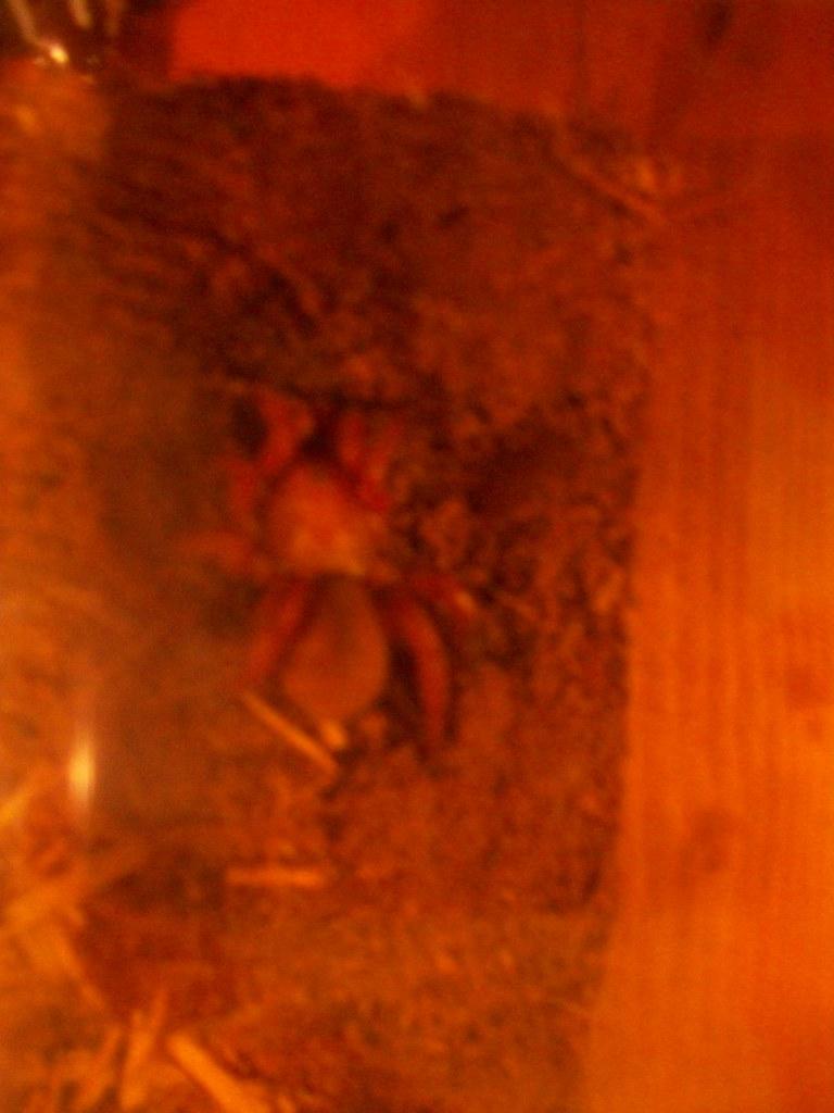 Red Trapdoor Spider Itsyaboialex Flickr