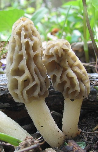 morels | by The Natural Capital