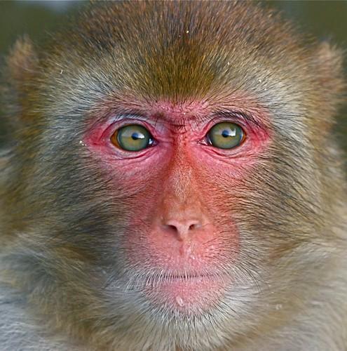 rhesus monkey macaca mulatta chi liu flickr. Black Bedroom Furniture Sets. Home Design Ideas