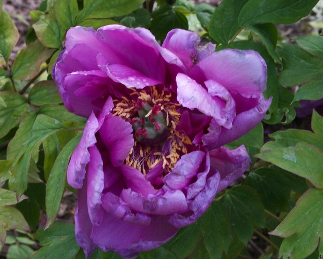 lavender tree peony the root stock for this one came
