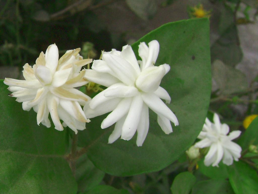 jasmine jasmine is a climbing vine with ova by incredibleayurveda jasmine by incredibleayurveda izmirmasajfo