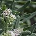 Tournefortia gnaphalodes (Boraginaceae); Sicimay