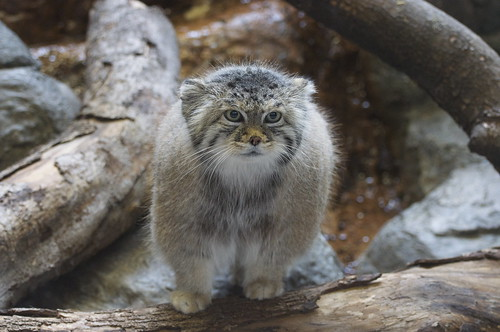 Pallas cat | by Paulo B. Chaves
