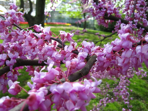 Eastern Redbud | by Brooklyn Botanic Garden