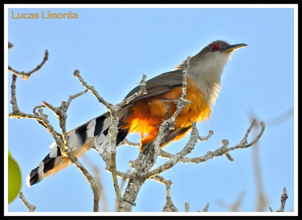Name Puertorriqueno: Puerto Rican Lizard-Cuckoo (Coccyzus Vieilloti)