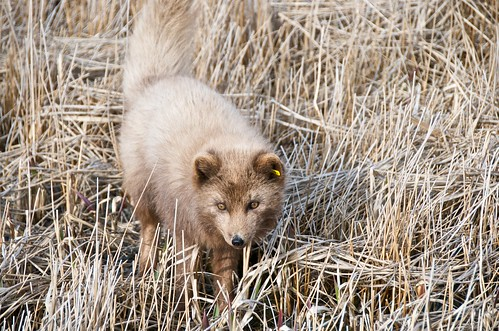 Presence of russian fur