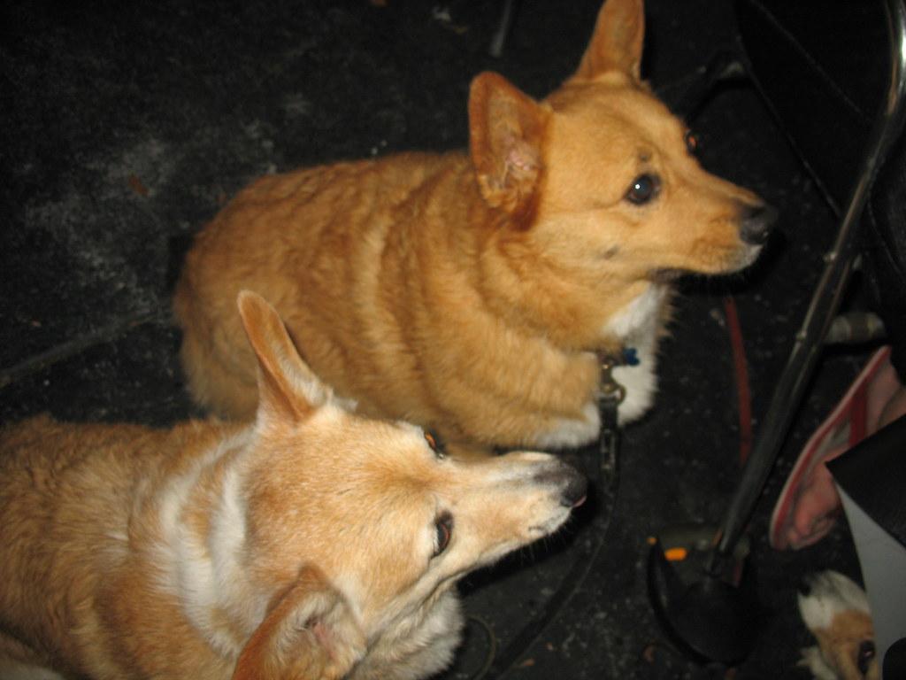 Corgi Dog Rescue Texas