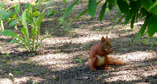 red squirell | by jazonz