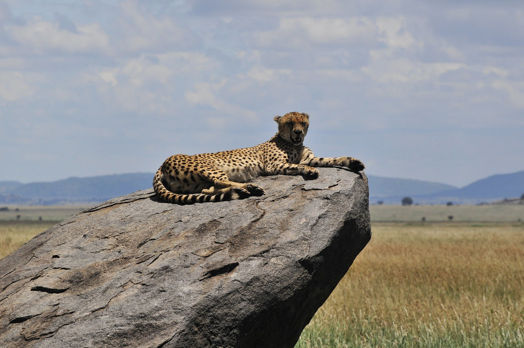 Kearsleys Travel Amp Tours Ltd Cheetah On Rock In The Sere