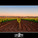 Un atardecer en una tierra de vinos