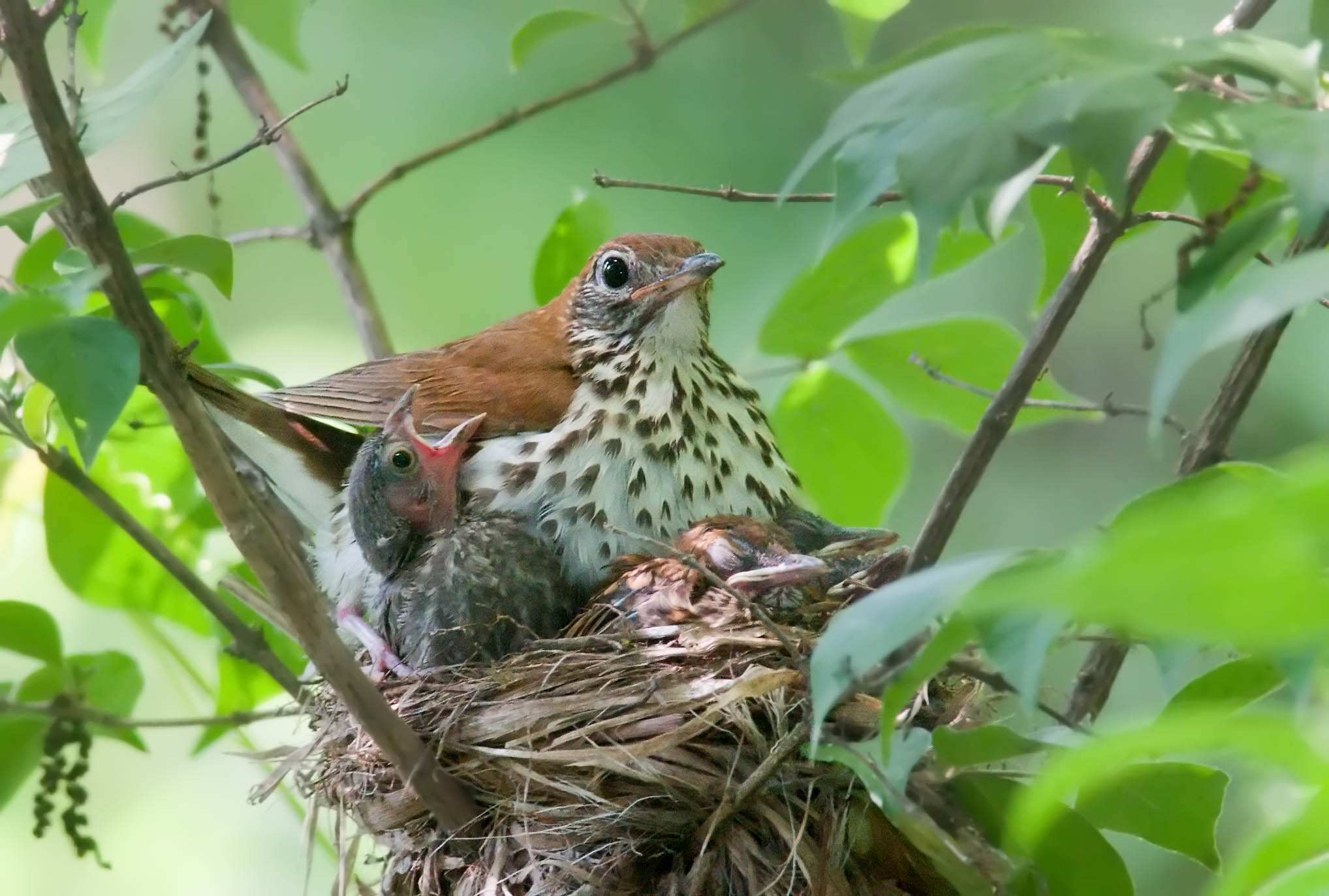 Wood Thrush and Cowbird Nestling.
