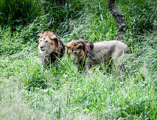 Male Lions at the Bannerghatta National Park | by mbell1975