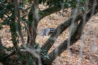 raccoon dave harper oakley | by Contra Costa Times