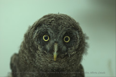 Hoooo You Lookin' At? (Great Grey Owl - Strix nebulosa) | by Neil Young Photography (nyphotos.ca)