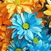 Blue and Orange daisies