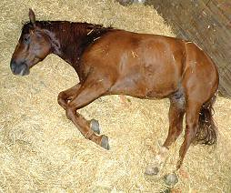 American Quarter Horse ~ CABALLO CUARTO DE MILLA ~ Origina… | Flickr