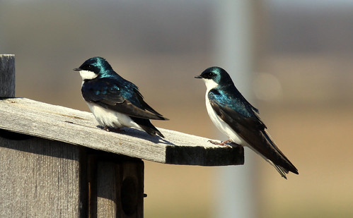 Tree Swallow | by Laura Erickson
