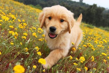 Cute Golden retriever pup | GoldenMeadows Retrievers | Flickr