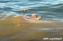 Turtle Struggles in Oil Slick | by NWFblogs