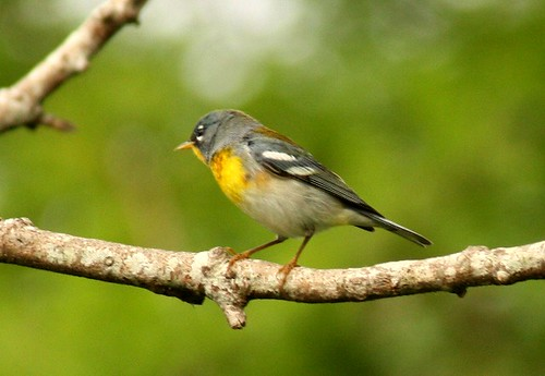Northern Parula - 4/30/2010 | by tx-kyle