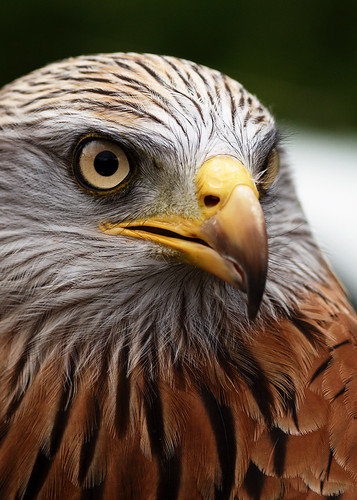 Red Kite | by FurLined