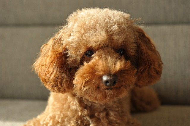 Toy Poodles For Sale In Palm Beach County