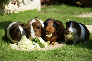 Guinea Pigs! | by Mad_m4tty
