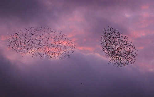 Starlings  being hunted! | by Danny Beath