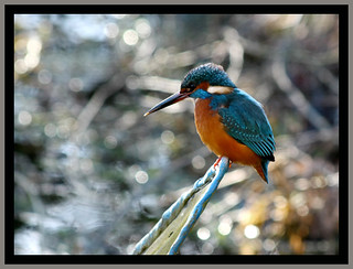 Kingfisher | by forbesimages